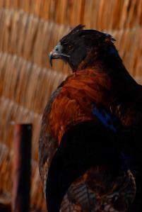 Águila de los Andes