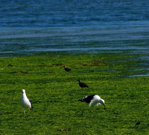 Aves de Chiloé