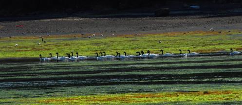 Cisnes de cuello negro
