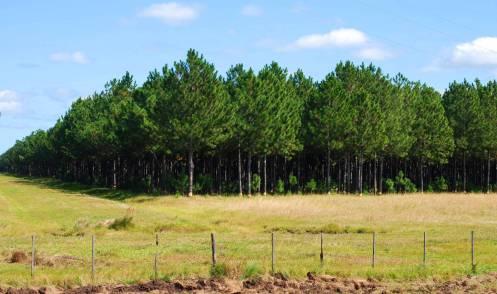cultivos de pinos