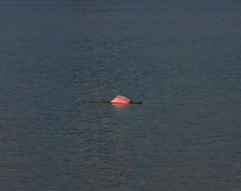 Delfin Rosado el Rey del río Amazonas