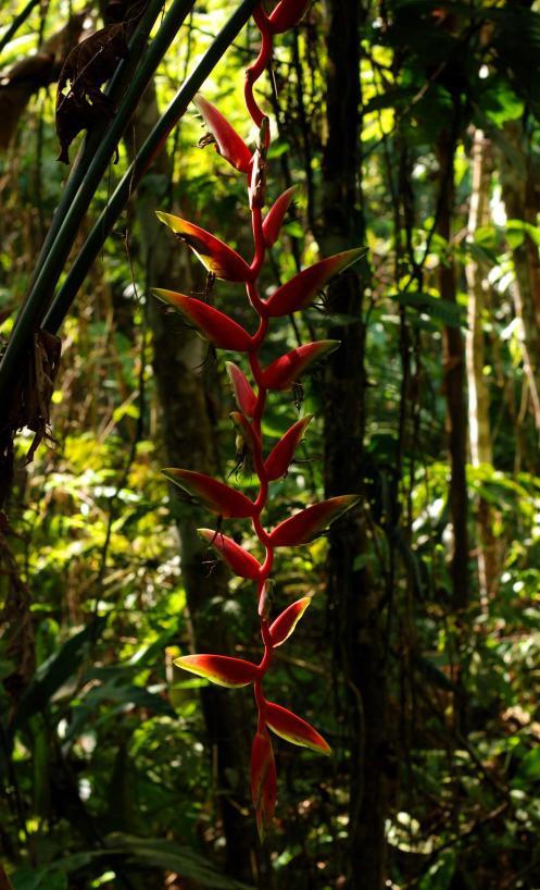 eliconias amazónicas