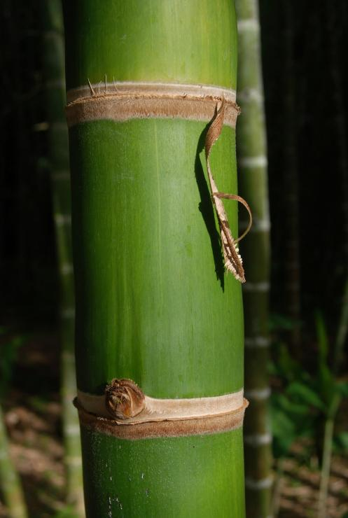 Bambú o Guadua