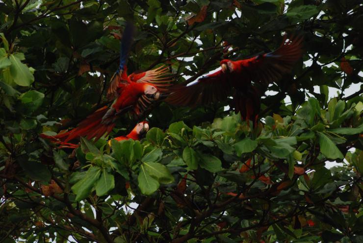 lapas rojas de Costa Rica